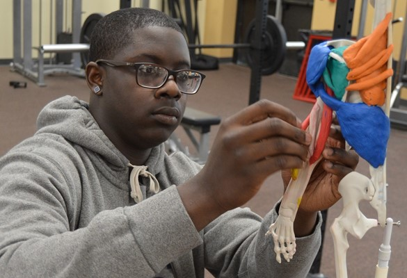 Student using a model skeleton to learn about muscle structure.